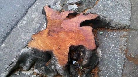 Na foto, árvore cortada pela prefeitura em março deste ano.